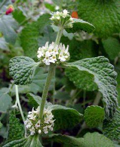 Andorn - Arzneipflanze 2018
