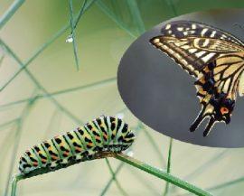 Raupe oder Schmetterling – Corona offenbart es